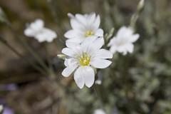 20190504 Cerastium tomentosum 'Snow in Summer' (an_extract_of_reflection) Tags: cerastium tomentosum snowinsummer flower plant petals spring summer