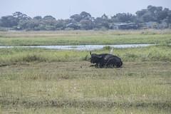 DSC_2601_1 (Marshen) Tags: capebuffalo cattleegret botswana chobe