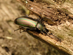 Rainbow Beetle (treegrow) Tags: rockcreekpark washingtondc nature lifeonearth arthropoda raynoxdcr250 insect coleoptera beetle tenebrionidae tarpelamicans