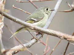 Eyelashes (amyboemig) Tags: ruby crowned rubycrowned kinglet red spot cut bird eyelashes songbird spring migration small flutter april westrivertrail west river trail