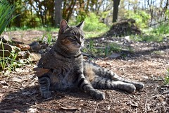 Camille after rolling in the mulch (rootcrop54) Tags: camille female mackerel tabby striped cat mulch lol uppergarden neko macska kedi 猫 kočka kissa γάτα köttur kucing gatto 고양이 kaķis katė katt katze katzen kot кошка mačka gatos maček kitteh chat ネコ