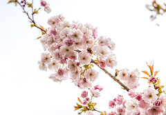 Cherry Blossom (judy dean) Tags: batsford velvet56 plants lensbaby gardens judydean 2019 arboretum spring cherry blossom pink