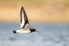 # Eurasian Oyster-catcher..................in flight !! (Dr Prem K Dev) Tags: eurasian oyster catcher flight bif bokeh bird bg wings feathers pulicat lake chennai india nature red orange black blue white