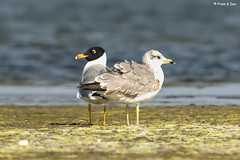 # A pair of Pallas Gulls............. (Dr Prem K Dev) Tags: pallas pleasing pulicat pose gulls golden glint gorgeous green glitter bird beautiful bokeh bg wader water wings wonderful white black breeding plumage feathers preening nature composition chennai colourful india lake lovely blue grey