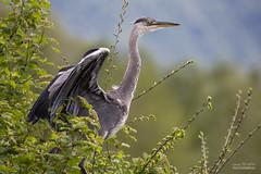 IMG_1003 (gerardtempo) Tags: héron birds oiseaux échassier nature canon 6d