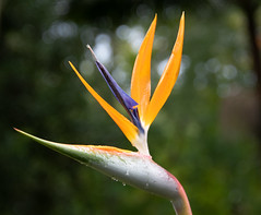 Bird of Paradise Flower (Merrillie) Tags: exotic purple flower craneflower nsw plant waterdrops flora australia newsouthwales gardens palmdale birdofparadise green nature centralcoast tropical orange
