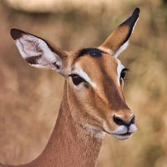 Impala - Tanzania / Serengeti (dominik.lorenz) Tags: impala gazelle tansania tanzania serengeti afika afrika