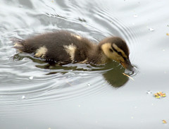 Baby duck (Tony Worrall) Tags: duck ducklings baby small young cute canal wet water swim new spring wild wildlife nature natural preston lancs lancashire city welovethenorth nw northwest north update place location uk england visit area attraction open stream tour country item greatbritain britain english british gb capture buy stock sell sale outside outdoors caught photo shoot shot picture captured ilobsterit instragram photosofpreston ashtononribble ashton