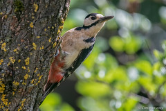Dendrocopos major (Picchio rosso maggiore). (Ciminus) Tags: nikond850 afsnikkor200500mmf56eedvr greatspottedwoodpecker naturesubjects uccelli picchiorosso dendrocoposmajor nature ciminus birds oiseaux ornitology ciminodelbufalo ornitologia wildlife aves