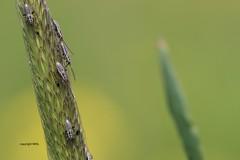 heteroptera nymphs (Phil Arachno) Tags: germany niederems hessen deutschland insecta arthropoda heteroptera eos80d canon macro gras