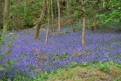 A blue carpet (Halliwell_Michael ## Offline mostlyl ##) Tags: brighouse westyorkshire nikond40x 2019 bluebells woods woodland brookfoot cromwellbottom trees landscapes brighouseecho