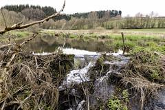 Castor's playground (mexou) Tags: castor creek dam restored bed raised cornelysmillen luxembourg réservenaturelle naturëmwelt naturemwelt castorfiber
