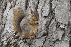 Fox Squirrel - Monroe County, Michigan, USA - May 2, 2019 (mango verde) Tags: foxsquirrel sciurusniger sciuridae sciurus niger squirrel treesquirrels sterlingstatepark monroecounty michigan usa mangoverde