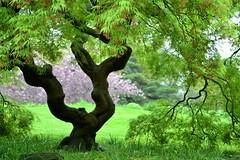 Emerald Green (KaDeWeGirl) Tags: newyorkcity bronx botanical garden nybg tree green spring explore