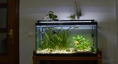 Acuario renovado-1 (GonzalezNovo) Tags: led acuario acuariofilia scalar acuariocomunitario tropical