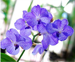 Orchidee (couvreur jacqueline) Tags: