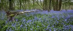 Silver on blue (Through Bri`s Lens) Tags: sussex spithandlelane ashurst steyning washington bluebell silver nature season springtime brianspicer canon5dmk3 canon1635f4