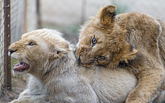 Two cubs playing (Tambako the Jaguar) Tags: lion big wild cat white cub young male cute playing fighting action fun portrait face violent lionsafaripark johannesburg southafrica nikon d5