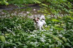 DSC05302.jpg (Macca h) Tags: animaleyeaf sony a7iii dog russell wildgarlic zeiss batis 85mm