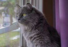 Sora Watcher (catandtonic) Tags: animal calgary cat pet sora