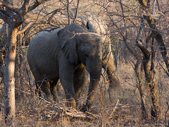 Little Big Elephant (Nebelang) Tags: parque nacional kruger national park sudafrica southafrica mpumalanga animales animal vida salvaje wild life wildlife reserva privada private reserve moditlo river lodge septiembre september little big elephant pequeño gran elefante