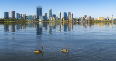 Swan in the river and Perth city on background (anekphoto) Tags: perth australia city western skyline river swan sky water building sunset cityscape reflection business cbd landscape district view architecture wa quay central travel tourism dusk skyscraper australian skyscrapers park blue beautiful background white ocean urban south scenic landmark financial harbour downtown harbor elizabeth nature centre capital john oldany color noon