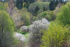 The landscape in May (RdeUppsala) Tags: vår primavera paisaje plantas plants trees träd växter blommor uppland uppsala countryside campo landscape landskap light luz ljus tree sverige suecia sweden ricardofeinstein blossoms