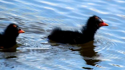 AP0402.DSCN0324.03 oiseau aquatique 26 (poule d'eau poussin lac nage) Pref
