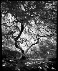 Japanese Garden 190502 (jimhairphoto) Tags: japanese garden tree landscape america nw northwest leftcoast oregon remainsoftheday naturalworld 4x5project crown speedgraphic camera mfg1963 purchasedat bluemooncamera andmachine 4x5 ilford fp4 film blackandwhite blancetnoir schwarzeweiss blancoynegro blancinegre siyahrebeyaz jimhairphoto