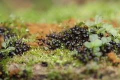 Blackberry Slimemold (Mohannah Singh) Tags: slimemold