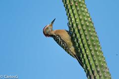 arpintero de La Española / Hispaniolan Woodpecker   (Melanerpes striatus) (Gogolac) Tags: aves birds fauna hispaniolanwoodpecker lagoenriquillo location melanerpesstriatus carpinterodelaespañola republicadominicana