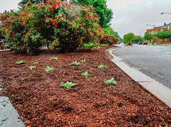 2019.05.04 Vermont Avenue Garden Blooms and Work Party, Washington, DC USA 01977
