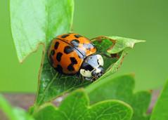 Harlequin Ladybird - Harmonia axyridis (erdragonfly) Tags: harmoniaaxyridis 05may2019inverts