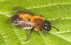 Andrena synadelpha female (timz501) Tags: bee andrenasynadelpha jersey