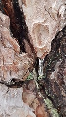 Eiszapfen an der Wetterföhre - Waldbaden-Ausbildung in Osterwitz (library_mistress) Tags: osterwitz styria exterior steiermark austria education deutschlandsberg österreich forest wald icicle eiszapfen rinde bark waldbaden shinrinyoku