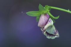 repos (rockinmonique) Tags: muttartconservatory flower bloom bloosom petal closed pink green purple bokeh macro moniquewphotography canon canont6s tamron tamron90mm copyright2019moniquewphotography