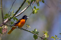 LocatingOldFriends (jmishefske) Tags: wehr d850 male nikon oriole bird nature wisconsin park center whitnall milwaukee 2019 franklin may