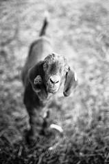 Jasper (All Aspects of Photography) Tags: 35mm leica m3 fp4 pmk pyro film farm livestock goat sheep dog cat