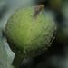 Matilija Poppy Flower Pod