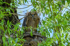 great horned owlet soggy cropped (Mel Diotte) Tags: great horned owlet wet soggy rain nature wild raptor hunter feathers mel diotte nikon d500 explore