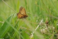 Le Damier de la succise dans l'herbe - Malans (francky25) Tags: le damier de la succise dans lherbe malans macro franchecomté doubs papillon