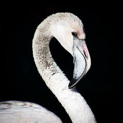 (mgschiavon) Tags: bird zoo animal nature california portrait