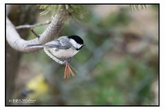 Black Capped Chickadee (Bruce Walter) Tags: chickadee blackcappedchickadee birds perchingbird spring nikon nikonca nikon200500