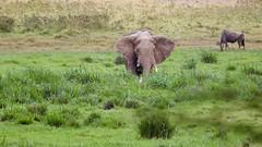 Giant herbivore in the marsh (Nagarjun) Tags: amboselinationalpark kenya africa elephant safari wildlife herbivore vegetarian