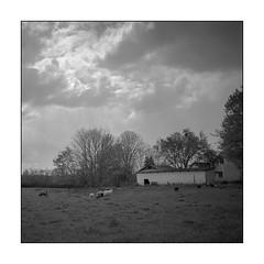 Sheeps, farm house and clouds (K.Pihl) Tags: sheep landscape planar75mmrolleiflex denmark blackwhite schwarzweiss ilfordpanf50 film clouds rolleiflex35e monochrome standdevelopment pellicolaanalogica farm bw analog rodinal1100