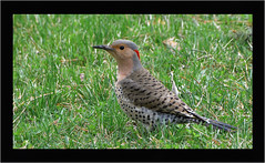Northern Flicker (hd.niel) Tags: northernflicker female birds woodpecker nature photography ontario wildlife flickr