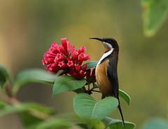 Eastern Spinebill (rankenhohn59) Tags: bird spinebill australian native nature animal