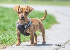 Lemon (Rainfire Photography) Tags: mixbreed puppy toronto houndsofyork downtown city dog adorable petphotographer
