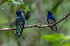 Front and back (Fred Roe) Tags: nikond7100 nikonafsnikkor200500mm156eed nature naturephotography national wildlife wildlifephotography animals birds birding birdwatching birdwatcher hummingbird jacobin whiteneckedjacobin florisugamellivora colors outside flickr panama