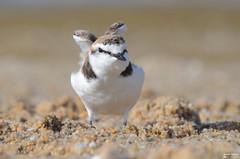 Borrelho de coleira interrompida - Kentish Plover (Snowy Plover) - Charadrius alexandrinus (rio.alva) Tags: portugal peniche ferrel bird birdwatching nature natureza nikon200500mmf56eedvr nikond7000